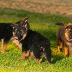 black german shepherd puppy