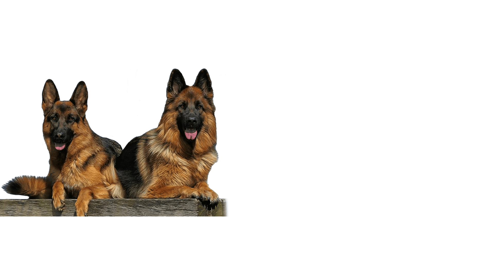 German Shepherd Dog Temecula