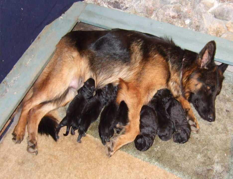 Female german shepherd with babies