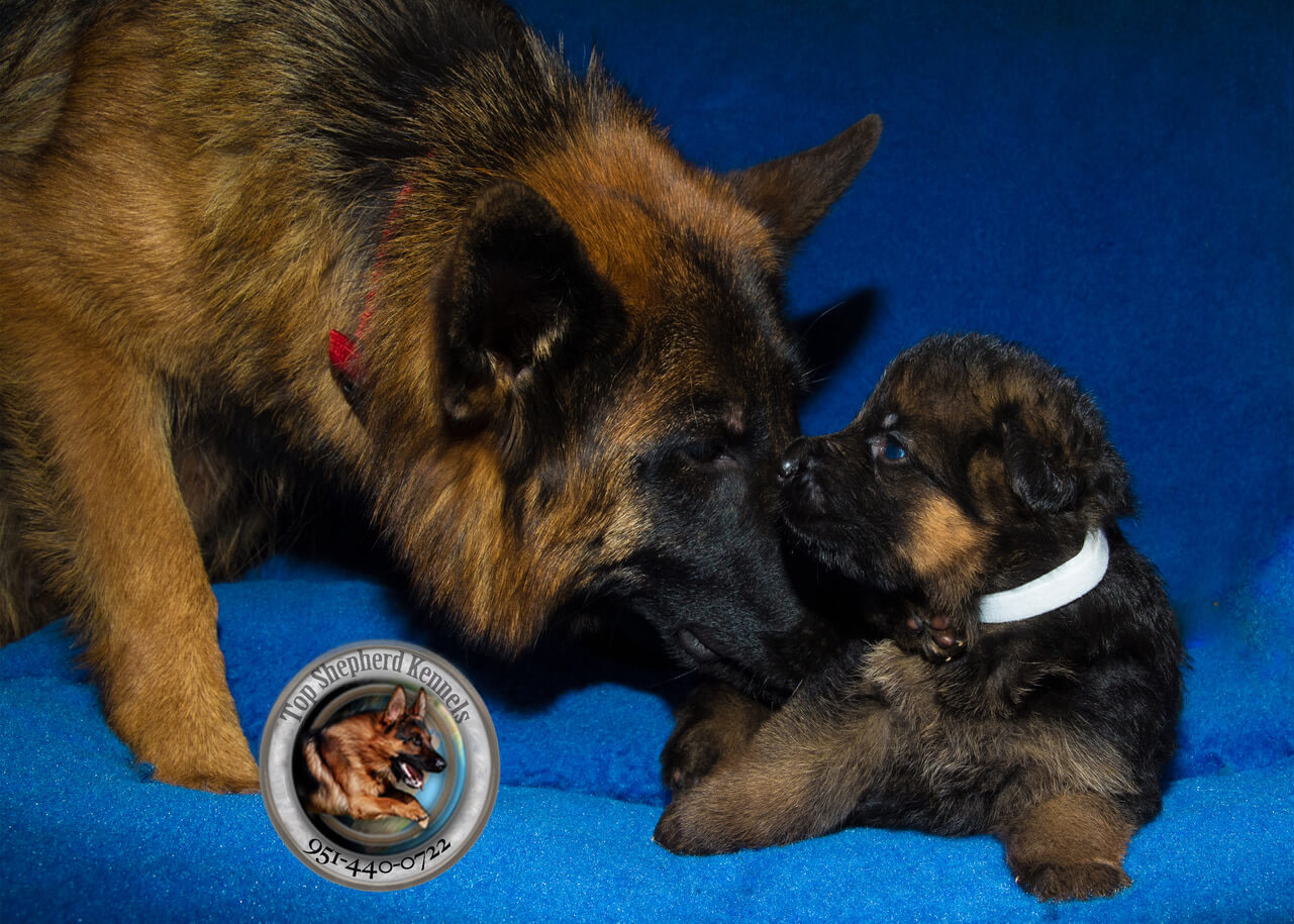 German shepherd puppy with Mom