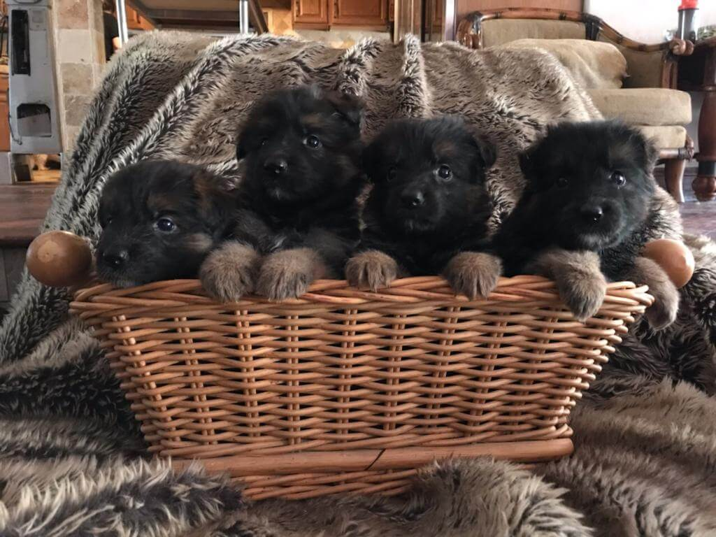 German Shepherd puppies california