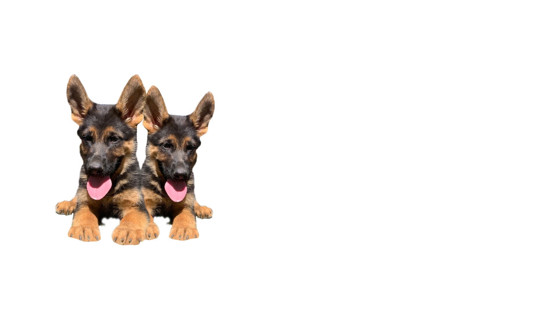 black and red german shepherd puppies for sale in California